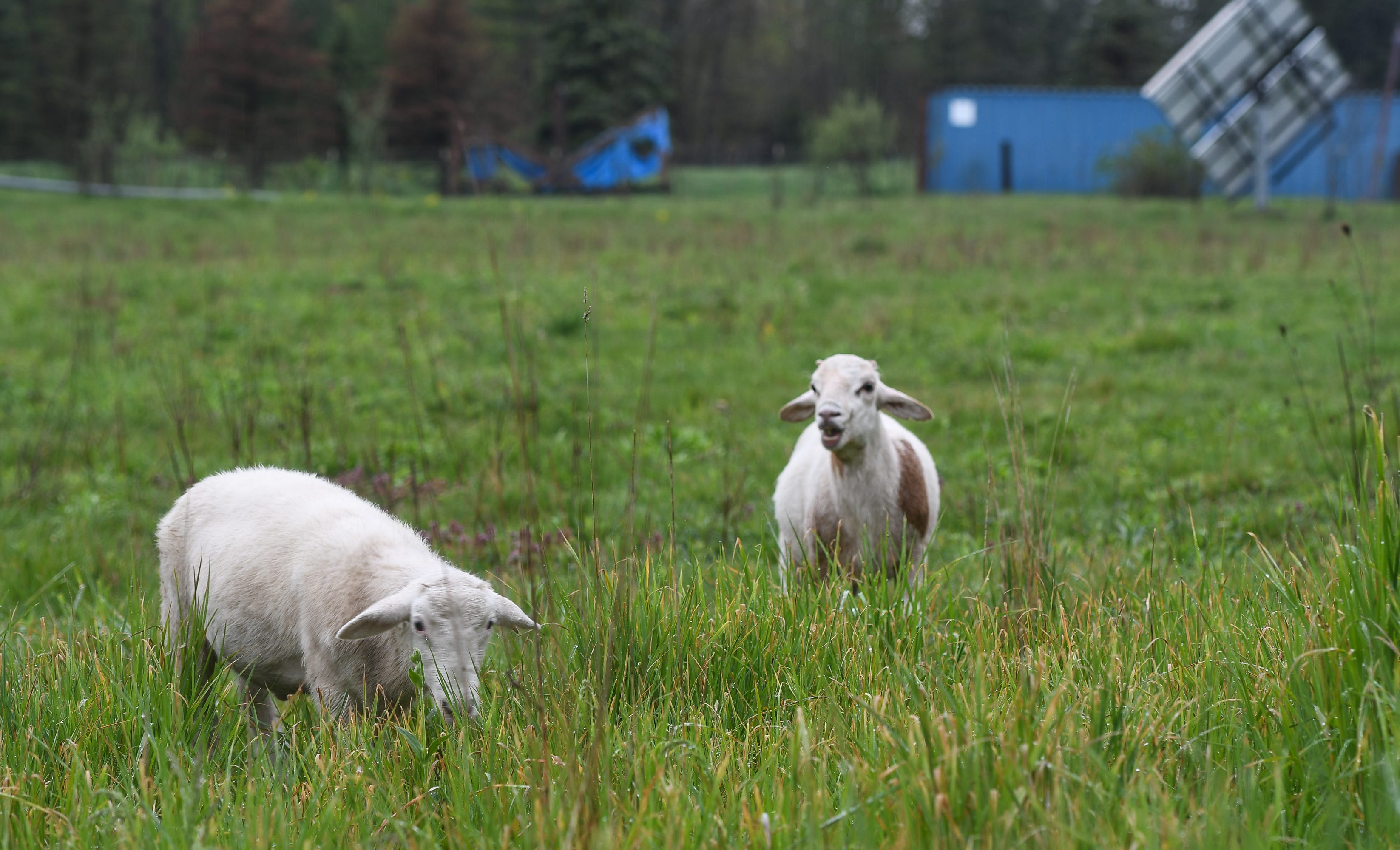 "Sheep graze at Trillium Wood Farm in Williamston, Monday, May 18, 2020.  Sisters Allie and Elise Thorp started the 131-acre farm eight years ago.  Annually, they harvest about 100 sheep, 100 hogs, 5,000 chickens, and 300 turkeys. They sell direct-to-consumers at farmers markets and offer online ordering and pickup at the farm. ""We've never been busier, we're having a hard time keeping up with demand,"" Elise says."