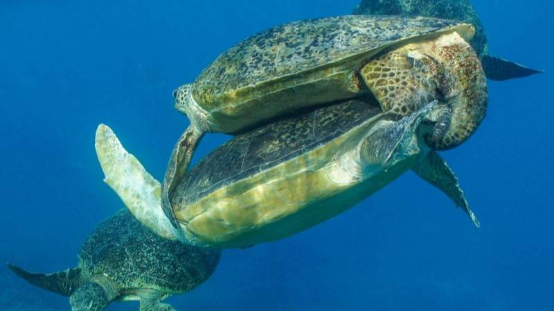 'Crazy' Sea Turtle Sex Frenzy Is Happening Off The Coast Of Australia