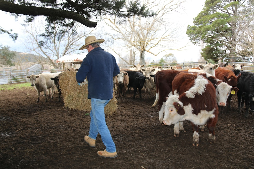 Martin walks among the cows with feed.