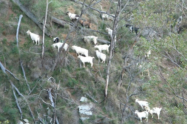 A number of white goats stand on a hillside.
